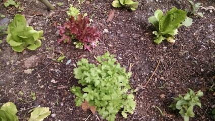 IMK June lettuce