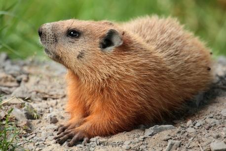 groundhog wikipedia