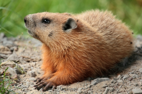 groundhog wikipedia